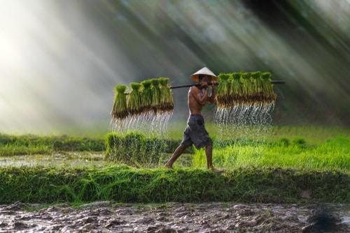 vietnamesischer-reis